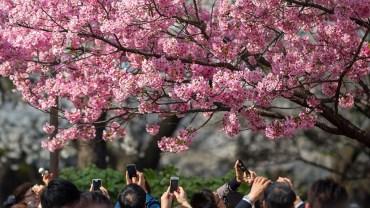 Aoyama Cemetery (The Sakura Guide)