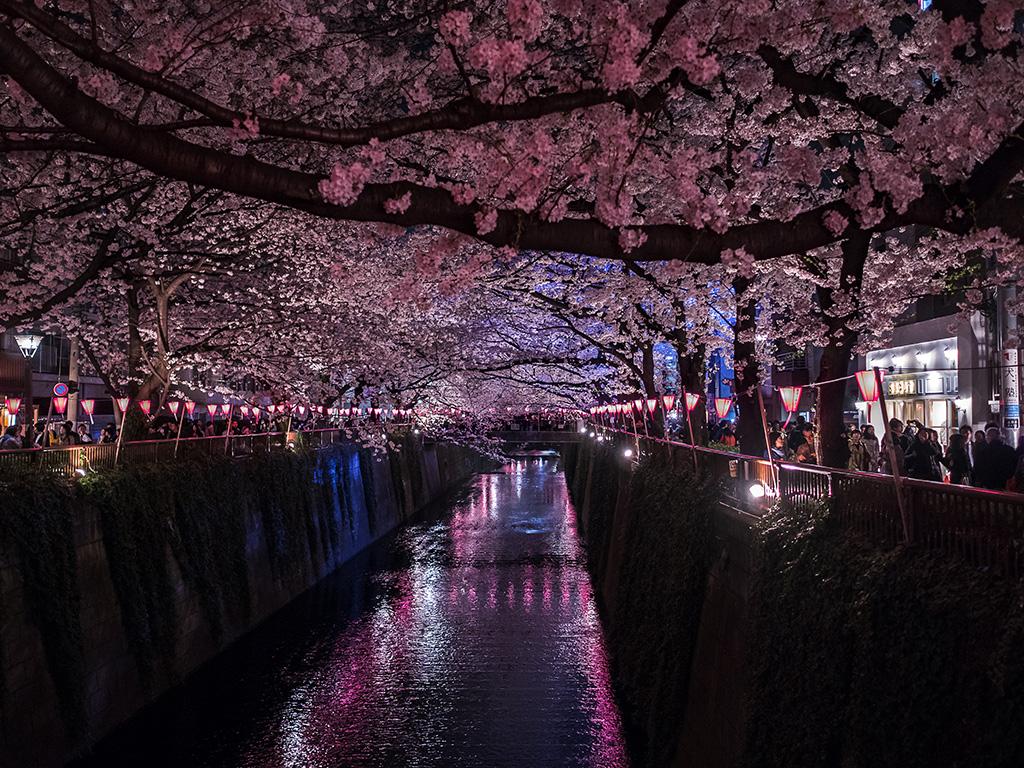 Meguro-River (The Sakura Guide)
