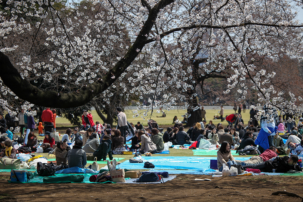 Omiya Koen (The Sakura Guide)