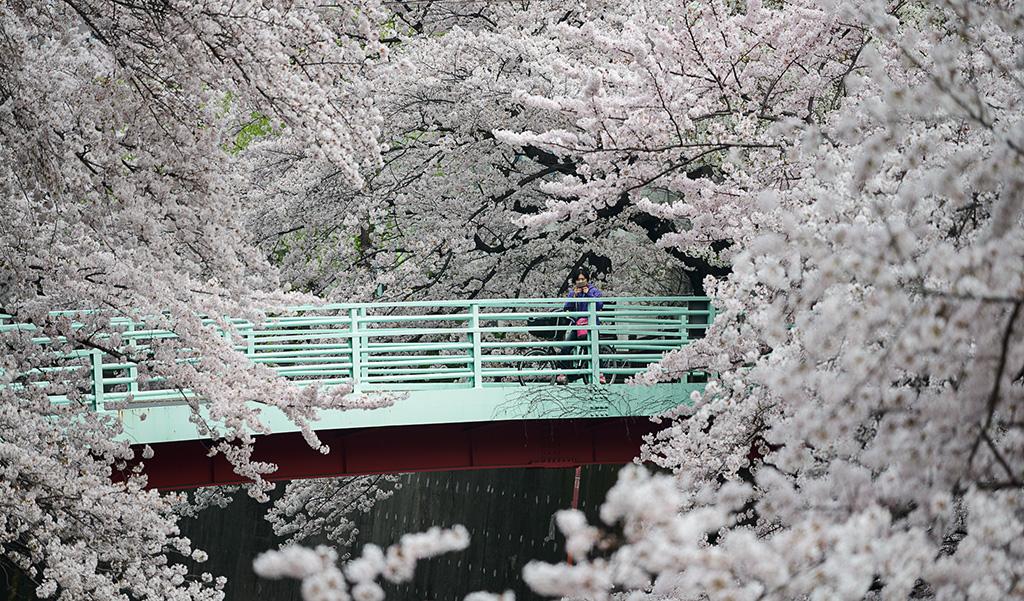 Shakujii Kawa (The Sakura Guide)