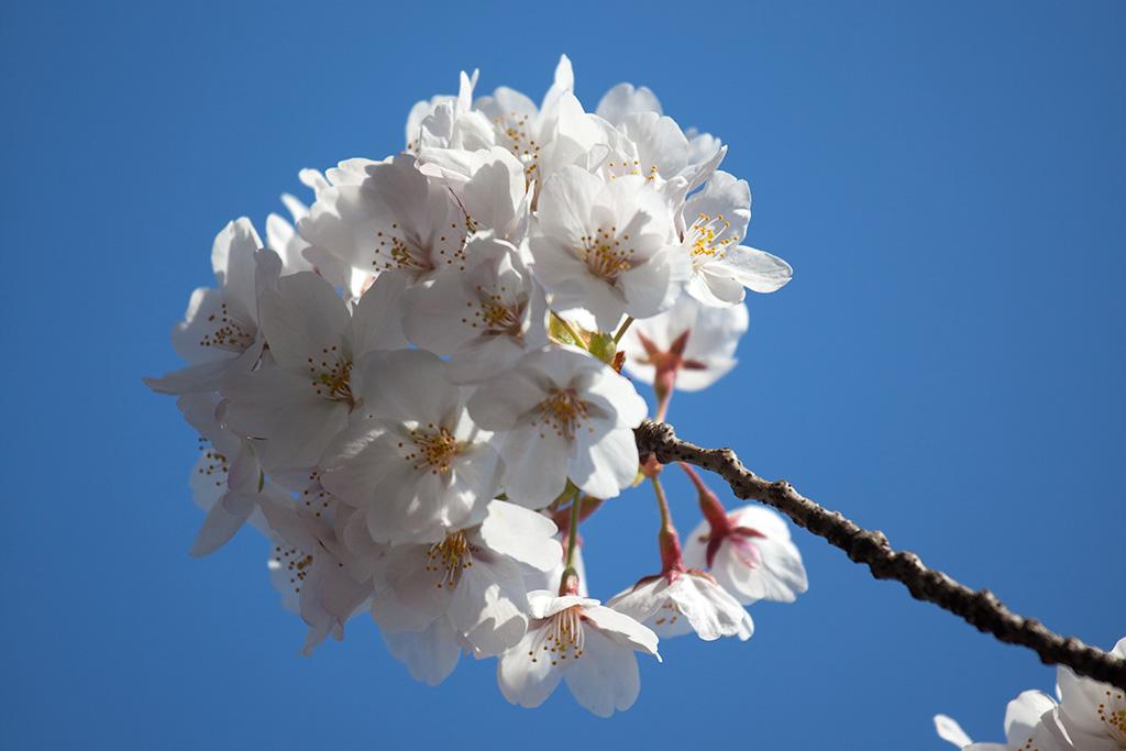 Sumida Koen (The Sakura Guide)