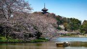 Sakura around Sankei-En pond