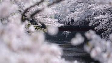 By far my favourite sakura spot in Tokyo