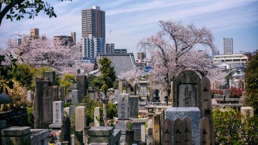 Hanami in the graveyard