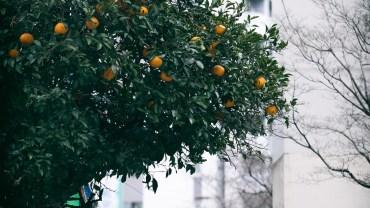 The urban orange tree