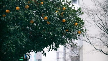 The urban orange tree