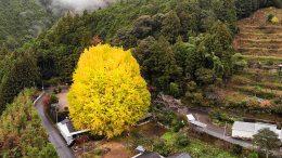 Fukusada No Oicho Ginkgo Tree