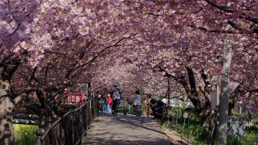 2021 Kawazu-sakura Cherry Blossoms