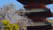 The Cherry Blossoms of Ikegami Honmonji