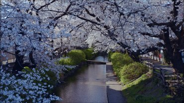 Nikaryo Yousui Cherry Blossoms
