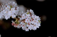 Sakura by Night