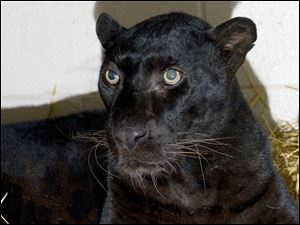 Shown is a black leopard,  one of three leopards that were captured by authorities a day after their owner released dozens of wild animals and then killed himself near Zanesville, Ohio.  Six of the released animals - three leopards, a grizzly bear and two monkeys - were captured and taken to the Columbus Zoo.