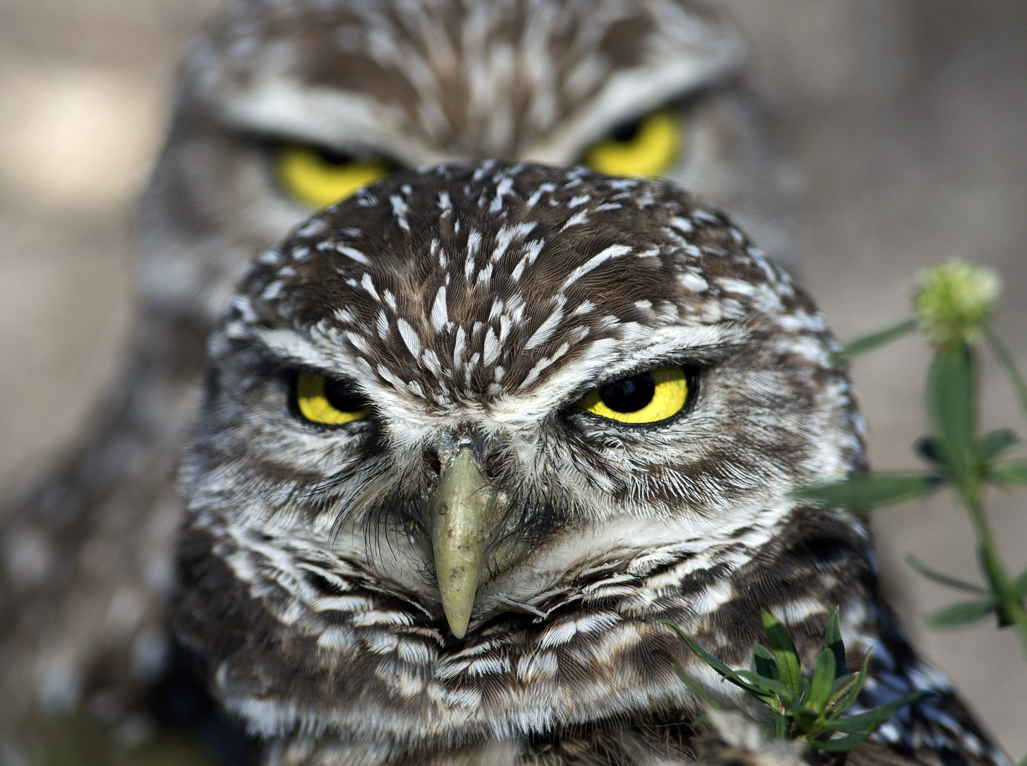 Owls know how to turn heads  The Blade