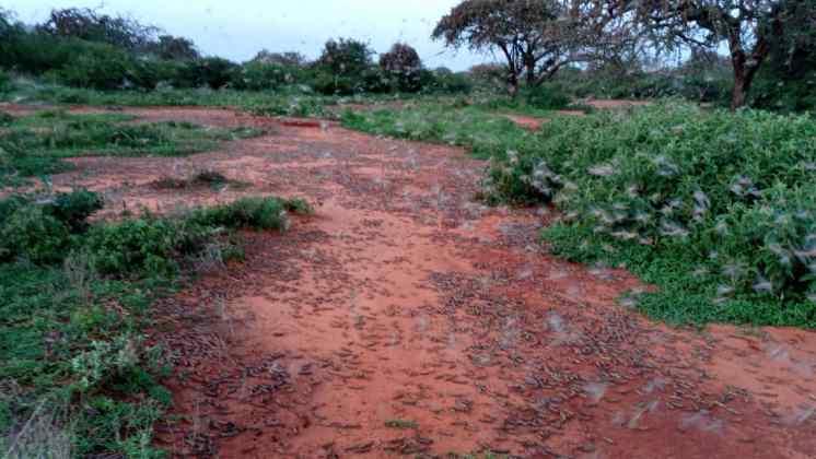 Heuschreckenplage in Toloha 2021-02-15