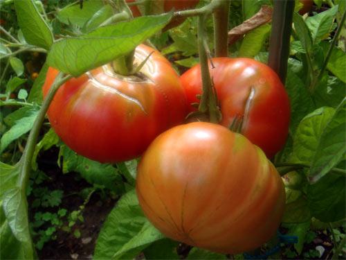 leichte risse bei der domaca pfarrgarten tomaten tomatl paradeiser. Black Bedroom Furniture Sets. Home Design Ideas