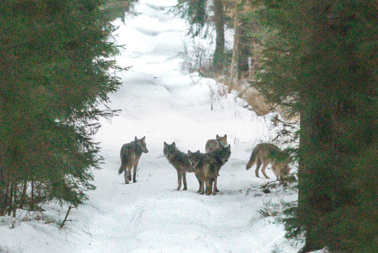 Wolves in Białowieża Forest - my photo