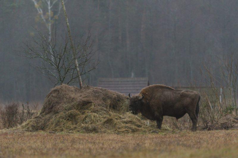 Teremiski bison