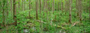 Alder carr in Białowieża Forest