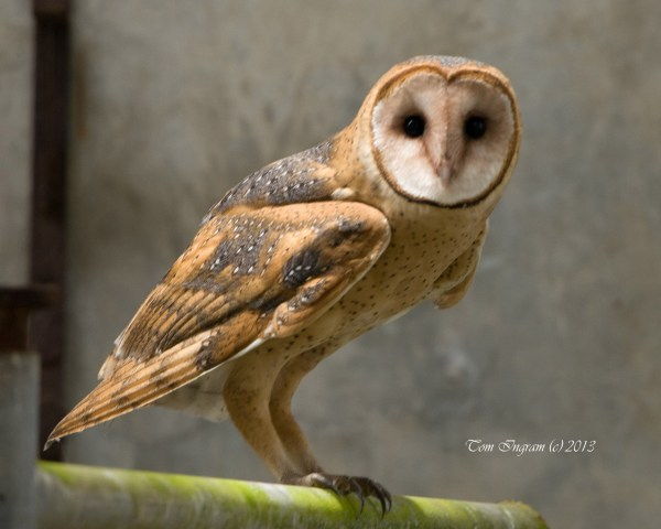 Pictures of Barn Owls