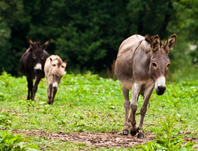 Donkeys in a pasture
