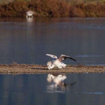 Flamingoer fra S´Albufera ved Alcūdia 4-10