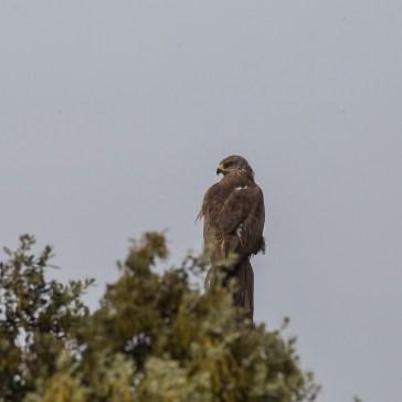 Sort glente fra sletten omkring Trujillo d. 23 april. Extremadura 3