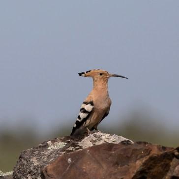 Hærfugl nær Santa Ana d. 25 april. Extremadura 1