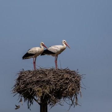 Stork fra Extremadura april 2018 3