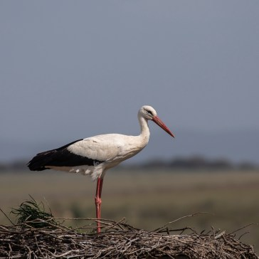 Stork fra Extremadura april 2018 1