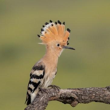 Hærfugl nær Campo Lugar d. 22 april. Extremadura 5