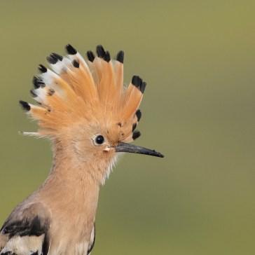 Hærfugl nær Campo Lugar d. 22 april. Extremadura 6