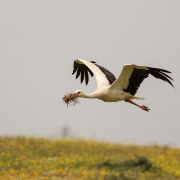 Stork fra sletten omkring Campo Lugar d. 22 april. Extremadura 3