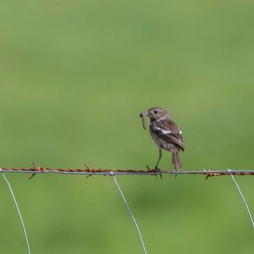 Stortstrubet Bynkefugl (hun) fra sletten omkring Belen d. 23 april. Extremadura 2