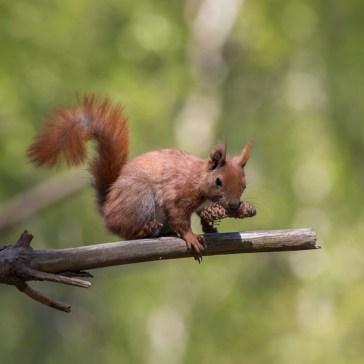 Egern fra Gåsemosen (Rørvig) Uge 19. 1