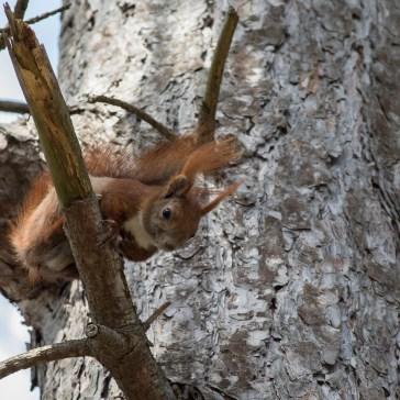 Egern fra Gåsemosen (Rørvig) Uge 18. 2