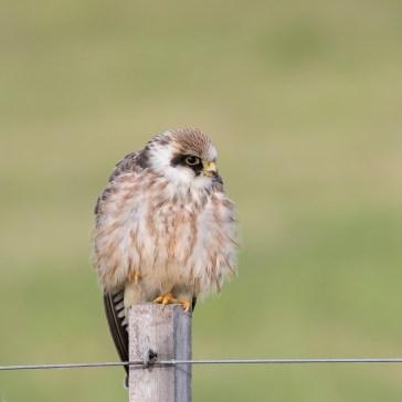 Kæk lille aftenfalk ( Falco vespertinus ) i aften lys, Vejrhøj. d. 16 aug. 2019. 4