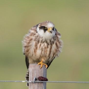 Aftenfalk ( Falco vespertinus )den sad og vaske sig, fløj lidt rundt og satte sig igen og så gylpede den, det har jeg aldrig set før. Vejrhøj. d. 16 aug. 2019. 6