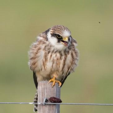 Aftenfalk ( Falco vespertinus )den sad og vaske sig, fløj lidt rundt og satte sig igen og så gylpede den, det har jeg aldrig set før. Vejrhøj. d. 16 aug. 2019. 7