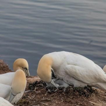Ny generation af Sule fra Helgoland. uge 25. juni 2019. 4