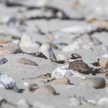 Stor Præstekrave stranden ved Kattegatkysten (flyndersø) maj 2020. 3