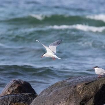 Fjordterne fra stranden ved flyndersø Uge 19. 2021. 3