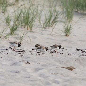 En aftentur på stranden, vi sad i strandkanten, og lige pludselig var der gang i den, - 2 præstekravefamilier var ikke enige om hvem der boede hvor. Det ene par havde 4 unger og det andet par lå på æg. Rørvig strand uge 23. 2021. 4