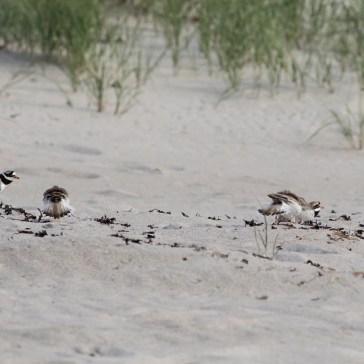 En aftentur på stranden, vi sad i strandkanten, og lige pludselig var der gang i den, - 2 præstekravefamilier var ikke enige om hvem der boede hvor. Det ene par havde 4 unger og det andet par lå på æg. Rørvig strand uge 23. 2021. 5