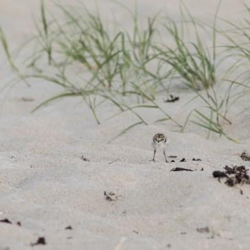 gen lige et par Stor Præstekrave med unger fra Rørvig strand uge 23. 2021. 4
