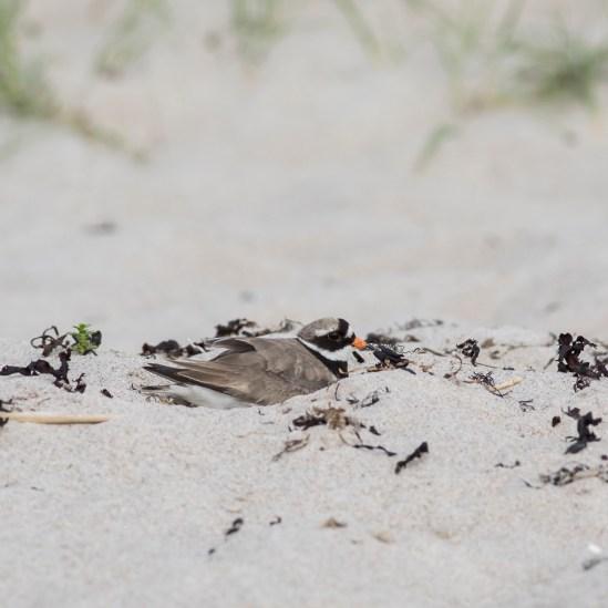 gen lige et par Stor Præstekrave med unger fra Rørvig strand uge 23. 2021. 1