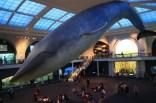 AMNH Whale