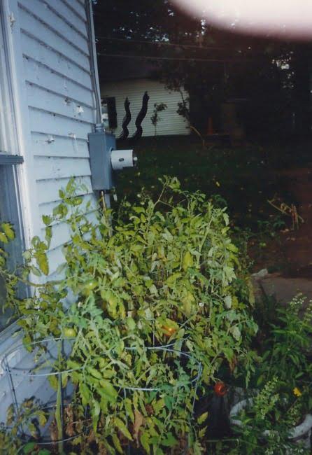 Back Yard Tomato Plants 2