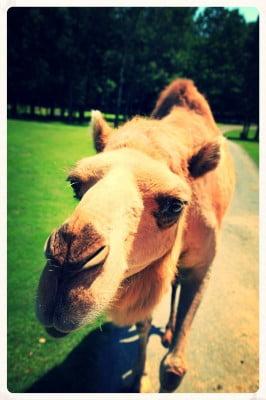 Camel-Close-Up