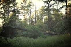 Fallen Pines (4)