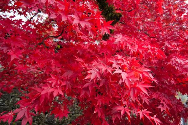 Il rosso degli aceri in autunno.